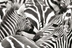 FTN H 2724 cikkszámú tapéta.állatok,fehér,fekete,szürke,vlies poszter, fotótapéta