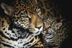 FTN M 2639 cikkszámú tapéta.állatok,barna,fehér,fekete,vlies poszter, fotótapéta