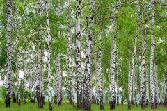 FTN S 2448 cikkszámú tapéta.Fa hatású-fa mintás,tájkép,természeti mintás,barna,fehér,zöld,vlies poszter, fotótapéta