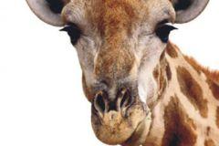 FTN V 2851 cikkszámú tapéta.állatok,barna,bézs-drapp,vlies poszter, fotótapéta
