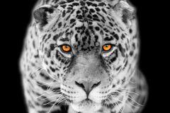 FTN V 2897 cikkszámú tapéta.állatok,fehér,fekete,sárga,vlies poszter, fotótapéta