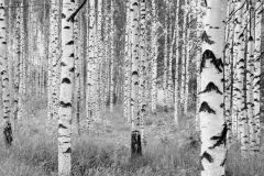 XXL4-023 cikkszámú tapéta.Fa hatású-fa mintás,fotórealisztikus,tájkép,természeti mintás,fehér,fekete,szürke,gyengén mosható,vlies poszter, fotótapéta